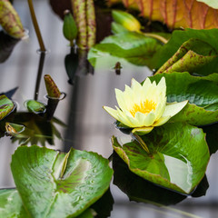 Nymphaea odorata, Waterlily House, Royal KEW Gardens, London