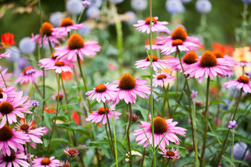 Beautiful echinacea flowers in Kew Gardens, London