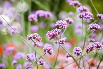 Verbena bonariensis - beautiful flowers in Kew Gardens, London