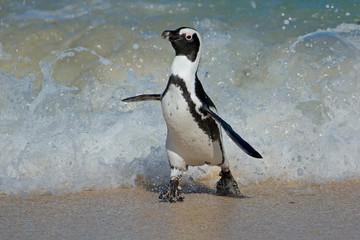 An African penguin (Spheniscus demersus) running on beach, Western Cape, South Africa .