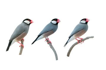 Beautiful bird ,Bird Java sparrow isolated on white background