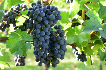 Cabernet Sauvignon for red wine