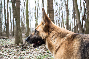 German shepard dog in forest wilderness