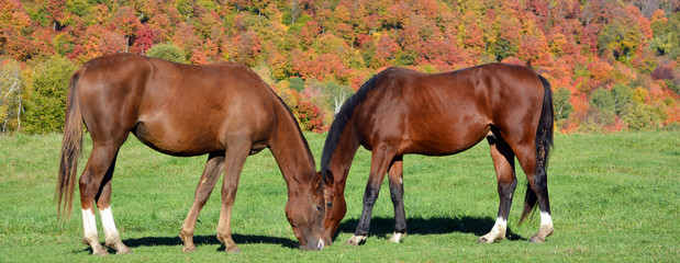 Brown young horse in field in fall season in Bromont Quebec