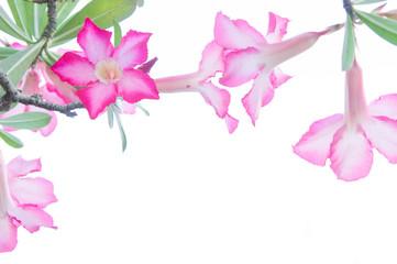 Desert Rose; Impala Lily; Mock Azalea flower on background