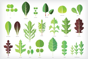 Set of salad greens vector. Leafy vegetables