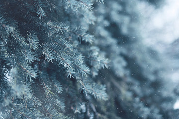 Snow-covered tree pine branch with snowflakes in forest closeup,