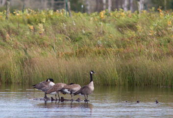 Canada Geese Perched on Log