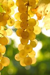 Vignoble charentais