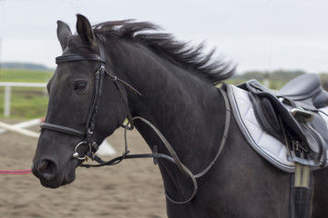 Beautiful black horse gallops on arena