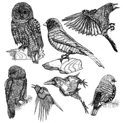 Set of birds, ink line drawing, hand drawn illustration.