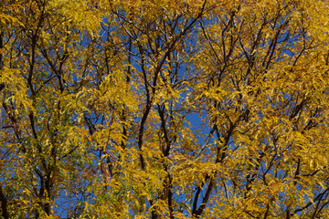 Close up of autumn tee with yellow leaves