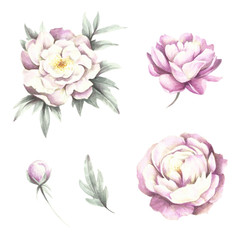 Flowers and buds peonies. Hand draw watercolor illustration