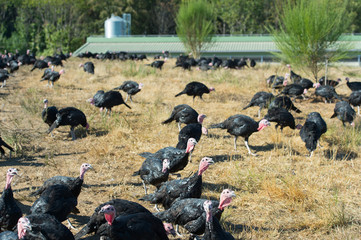 Many turkeys at the farm