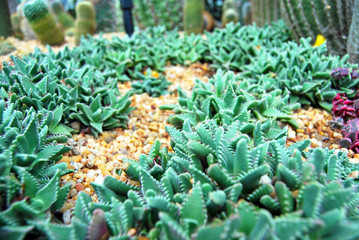 Green thorn succulents