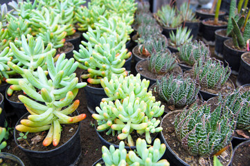 Pretty succulents in pots on flower market