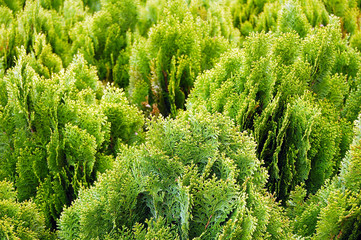 Young green cypress fresh background