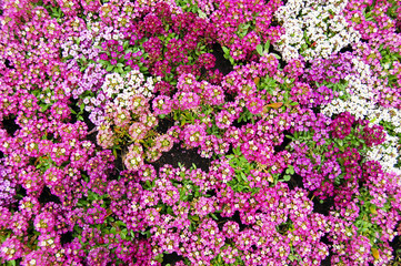 Pink, white, purple alyssum flower bed