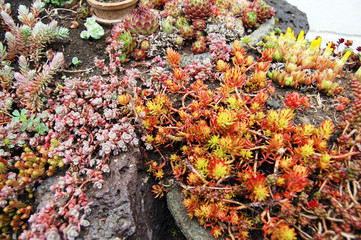 Small succulents composition in the garden