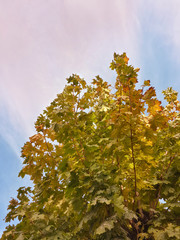 Beautiful tops of autumn trees and blue sky/Beautiful tops of autumn trees and blue sky
