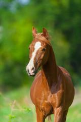 Red arabian horse portrait in motion