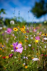 Blumenwiese Sommerblumen Landschaft Natur