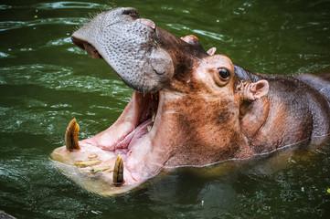 Hippopotamus opening the mouth.