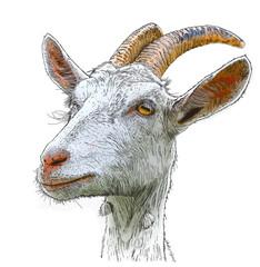 goat - a portrait - a vector color drawing