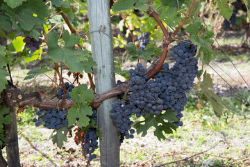 Large bunch of Red Wine Grapes at a Vineyard.