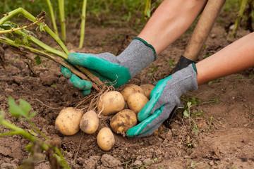 Harvesting Potatoes. Female Farmer Hold Heap Fresh Potato In Her Hand Close To Ground. Fresh Potato. Harvest Time, Season.