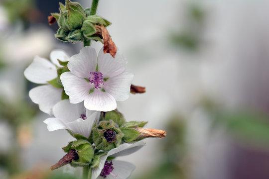 Eibischblüten