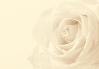 White rose close-up as background. Soft focus. In Sepia toned. R