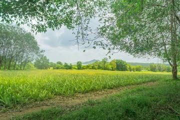pieapple garden in forest view