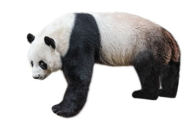 Poster Panda The Giant Panda, Ailuropoda melanoleuca, also known as panda bear, is a bear native to south central China. Panda standing, side view, isolated on white background, often used as an symbol of China.
