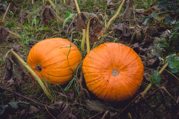 Two large pumpkins in orange color