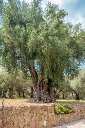 Albero con chioma rigogliosa fotos de archivo e for Chioma albero