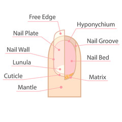 Structure and anatomy of human nail. Color medical scheme on white background. Isolated vector illustration.