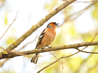 Bird chirping on a branch