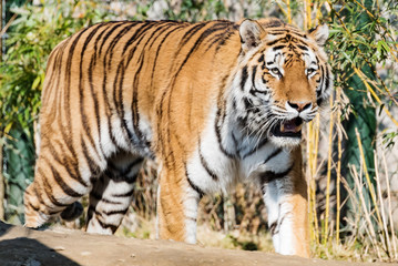 amur tiger from asia at park in germany