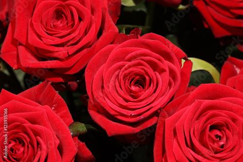 rote rosen stockfotos und lizenzfreie bilder auf bild 123935166. Black Bedroom Furniture Sets. Home Design Ideas