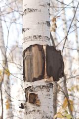 Fototapete - birch tree