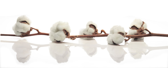 Cotton branch against white background. Useful horizontal banner.