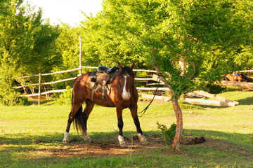 Horse Tied To A Tree On A Farm In The Village In Summer