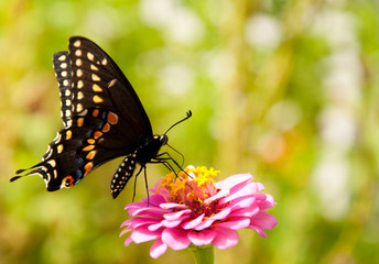 Ventral view of an Eastern Black Swallowtail feedin on a Zinnia flower
