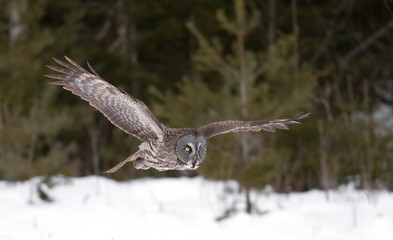 Great grey owl (Strix nebulosa) hunting over a snow covered field in Canada