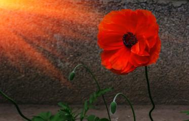 wild poppy flower at sunset.