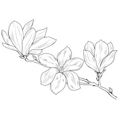 Magnolia flowers on a tree branch, sketch, black on white background.