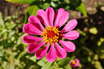 Close-up of an pink zinnia flower in bloom