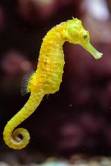 Slender seahorse (Hippocampus reidi).