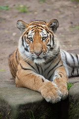 Siberian tiger (Panthera tigris altaica).